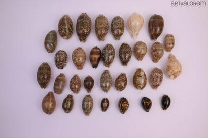 Cypraeidae  30 spécimens, espèces de belle...