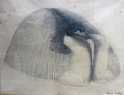 Pierre COLIN. Dindon. dessin au crayon sur...