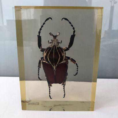 Scarabée goliath sous plexiglass.  18 x...
