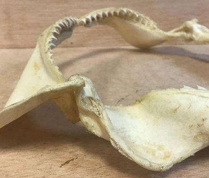 CURIOSITY  Naturalized shark jaws  H. 32 - Width: 40 cm
