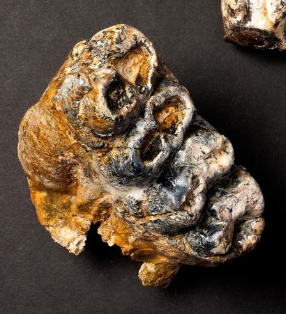 Belle molaire d'éléphant primitif Gomphotherium steinheimensis  Age: miocène moyen...