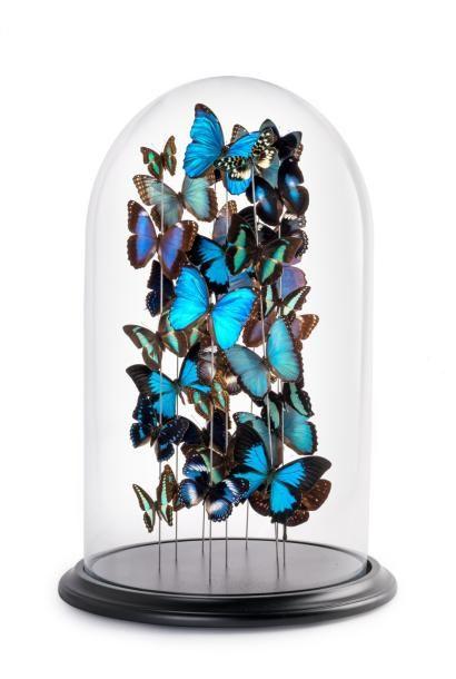 Impressionnante composition de papillons bleus sous globe en verre