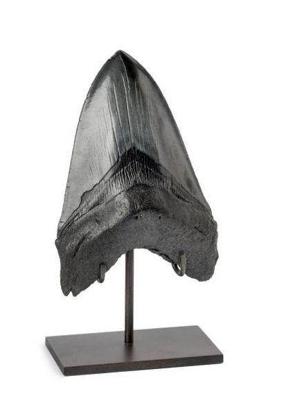 Dent de Carcharodon Megalodon de très grande taille en parfait état