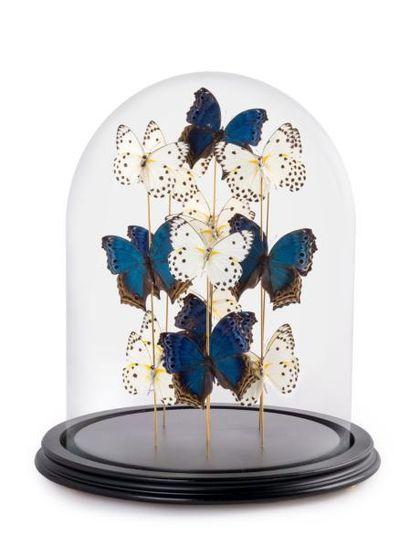 Papillons Belenois Calypso et Salamis Temoras sous globe
