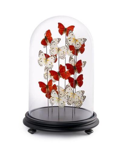 Papillons Belenois Calypso et Cymothoe Sangaris sous globe
