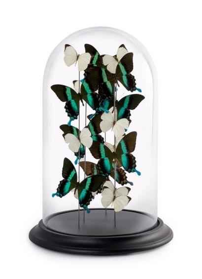 Papillons Papilio Blumei et Nepheronia Argia sous globe