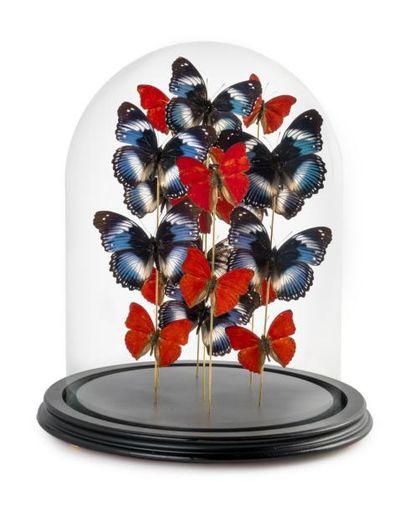 Papillons Hypolimnas Salmaxis et Cymothoe Sangaris sous globe