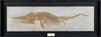 Moulage d'Ichtyosaure d'une très fine exécution,
