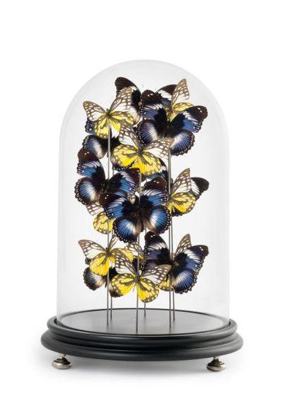 Papillons Hypolimnas, Salmaxis et Prioneris Thestylis sous globe