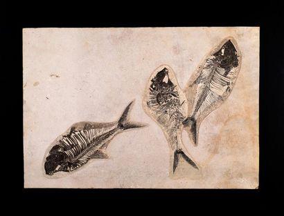 Trois poissons fossiles Diplomystus