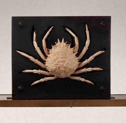 Araignée de mer naturalisée dans support plasma