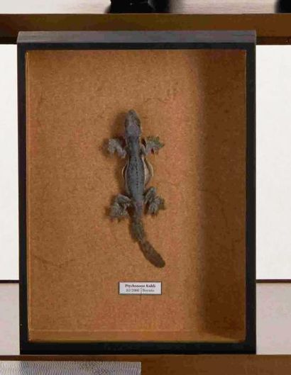 Lézard Volant de l'ile de Java dans sa boite de collection