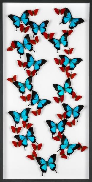 Très grande envolée de papillons en coffret vitré