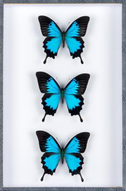 Papillons ulysses en coffret vitré