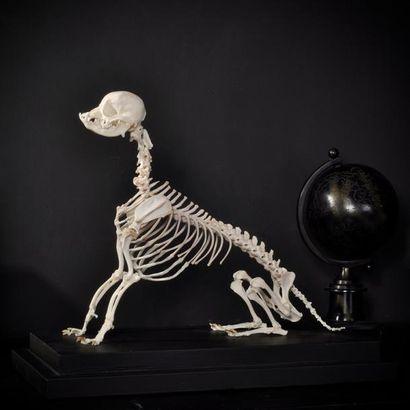 Squelette de chihuahua