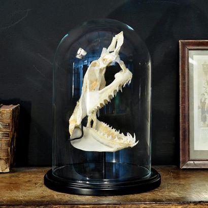 Crâne complet de requin Mako sous globe