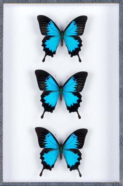 Papillons ulysses en coffret vitré (Papilios...