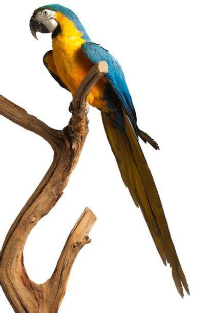 Ara bleu et jaune ou Ara Ararauna (II/B-CE)...