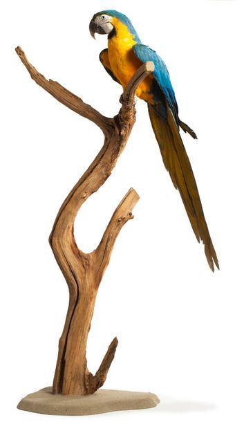 Ara bleu et jaune ou Ara Ararauna (II/B-CE) : spécimen naturalisé sur branche et...
