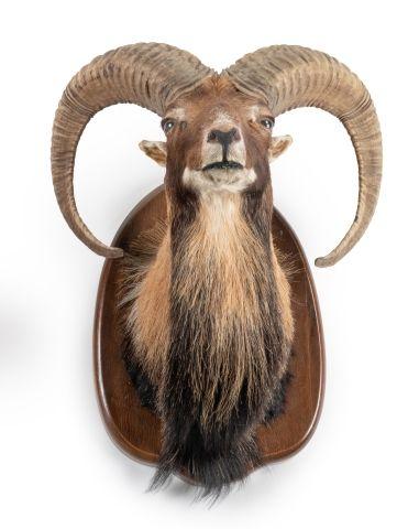 Mouflon d'Europe (Ovis ammon) (CH) : tête...