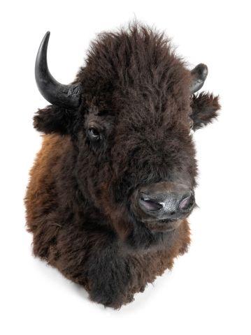 Bison d'Amérique (Bison bison) (NR) : magnifique...