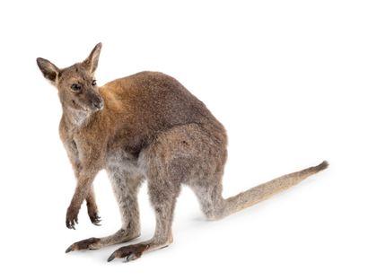Wallaby de Bennet (Macropus rufogriseus)...