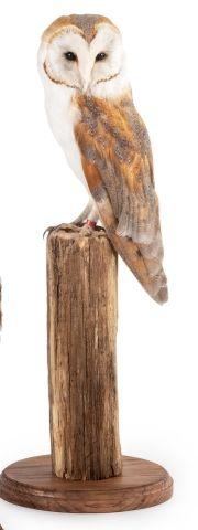 Chouette effraie (Tyto alba) (II/A-CE) bagué...