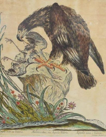 BOUCHARD MAGDALENA (XVIIIÈME)  Aigle faucon...
