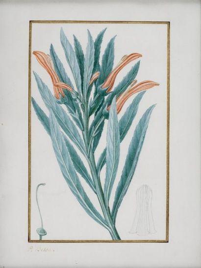 BESSA Pancrace , 1772-1846  Lobélie de Brandt...