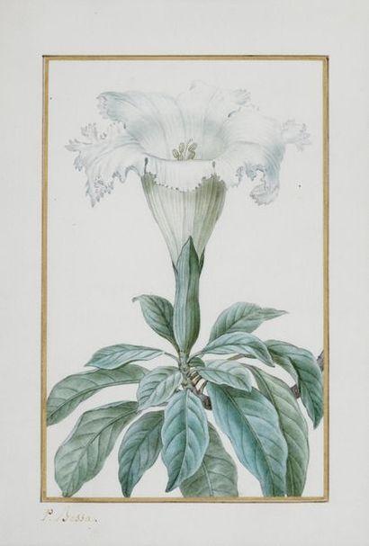 BESSA Pancrace , 1772-1846  Solandra Grandiflora...