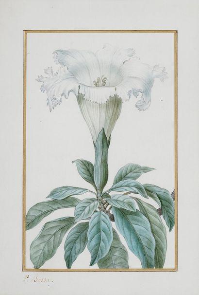 BESSA Pancrace , 1772-1846  Solandra Grandiflora (Chalicevine)  aquarelle partiellement...