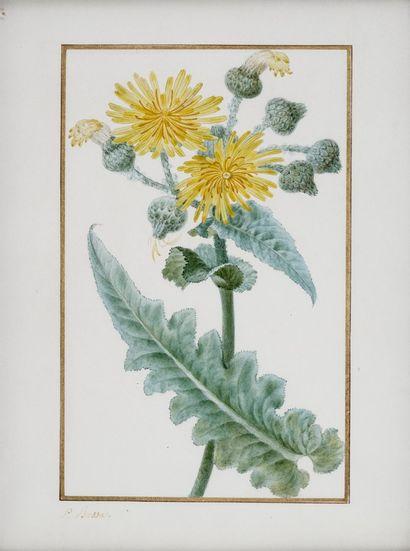 BESSA Pancrace , 1772-1846  Laitron à grosses...
