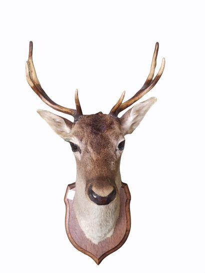 Tête de cerf (cervus elaphus, non réglementé)...