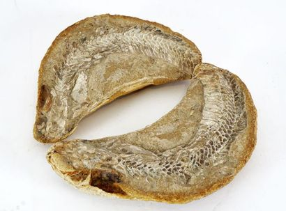 Fossile de poisson ou reptile et son empreinte,...