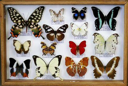 Lépidoptères d'Afrique de l'Ouest dont Papilio,...