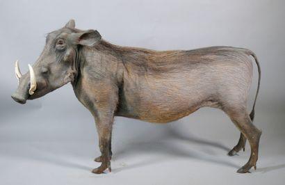 Phacochère en pied Phacochoerus africanus....