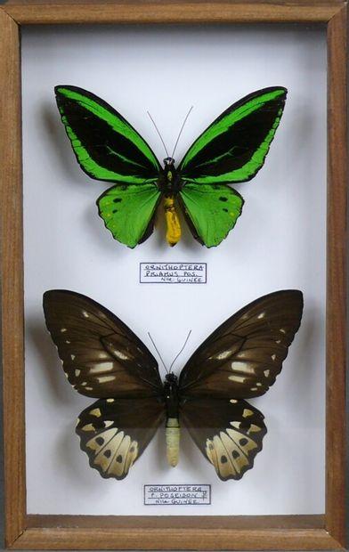 Ornithoptera priamus poseidon couple Nlle...