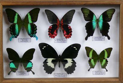 Papilionidae asiatiques dont P. blumei, adamantius,...