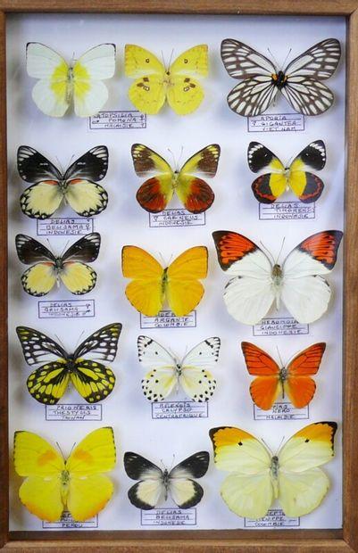 Pieridae exotiques du monde dont Delias,...
