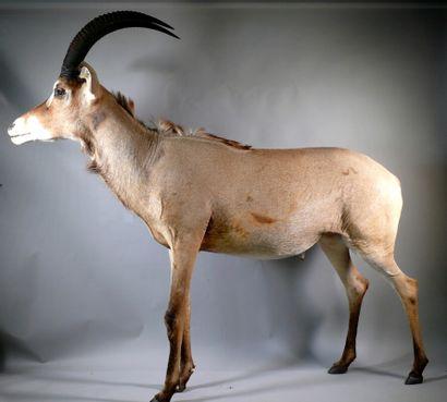Hippotrague rouan en pied - Hippotragus equinus....