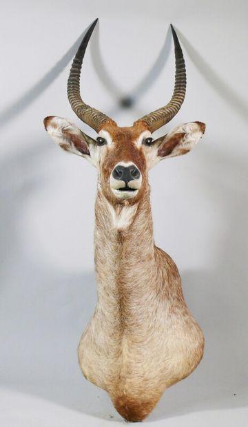 Cob Defassa en cape - Kobus ellipsiprymnus...