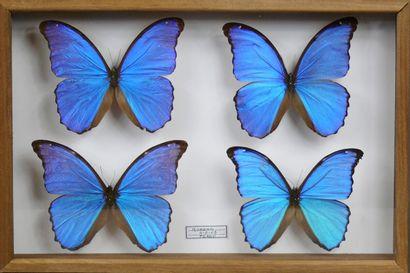 Quatre spectaculaires Morpho didius du Pérou...