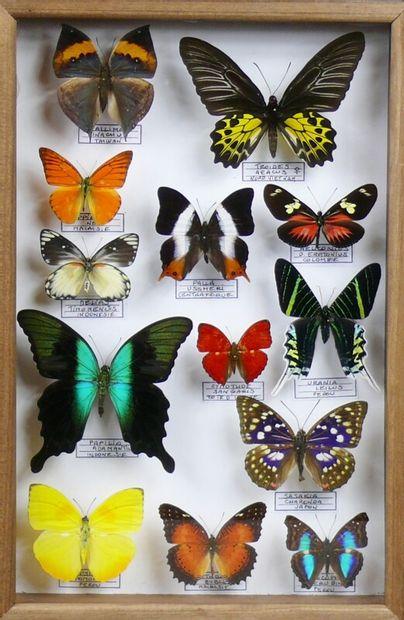 Lépidoptères exotiques dont Troïdes aeacus...