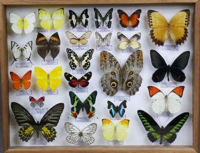 Grand coffret de papillons du monde dont...