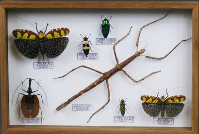 Phasmidae, coléoptères et Sanaa regalis couple...