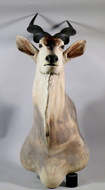 Eland du Cap en cape - Taurotragus oryx....