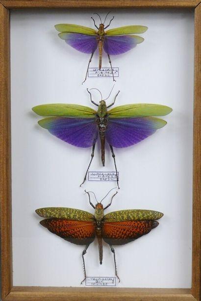 Titanacris albipes couple Pérou acridiens...