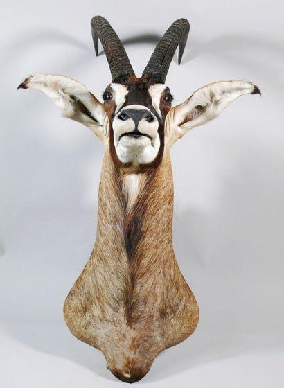 Hippotrague rouan en cape Hippotragus equinus....