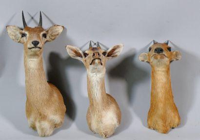 Trois antilopes naines africainesen cape:...
