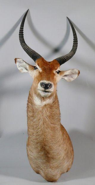 Cobe Defassa en cape - Kobus ellipsiprymnus...
